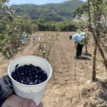 屋久島生活・ひまわり畑でボランティア活動
