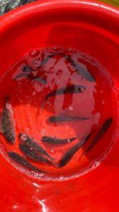 タイの稚魚